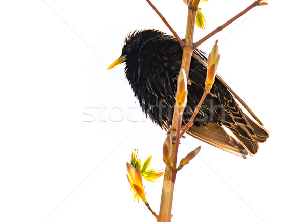 Isolated common starling bird on a twig Stock photo © manfredxy