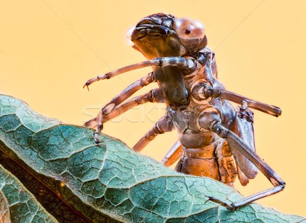Empty skin of a dragonfly larva Stock photo © manfredxy