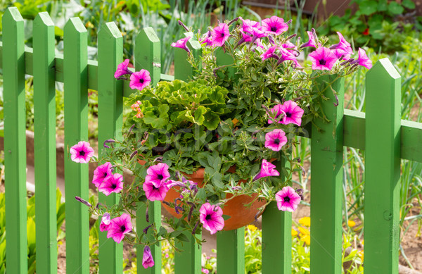 Petunia flower deco at a wooden fence Stock photo © manfredxy