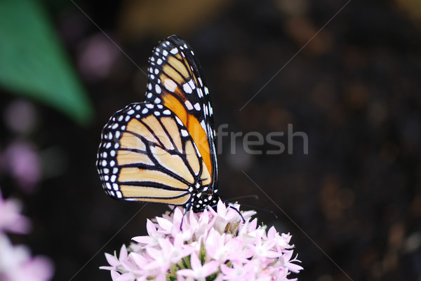 Monarch butterfly Stock photo © manfredxy