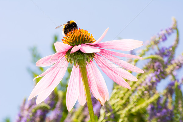 Echinacea flower with bumblebee Stock photo © manfredxy