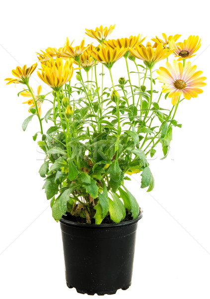 Isolated potted yellow Osteospermum flower Stock photo © manfredxy