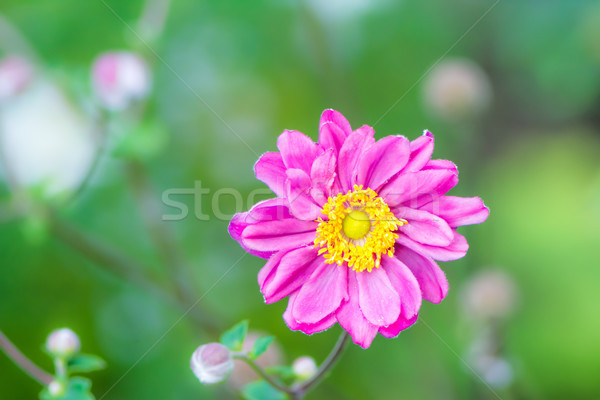 Closeup of a pink anemone flower Stock photo © manfredxy