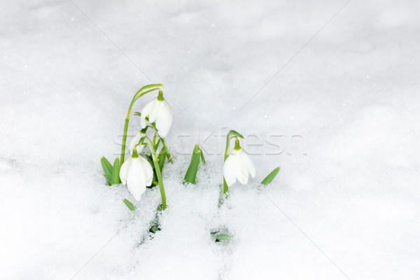 Snowdrop flowers in the snow Stock photo © manfredxy