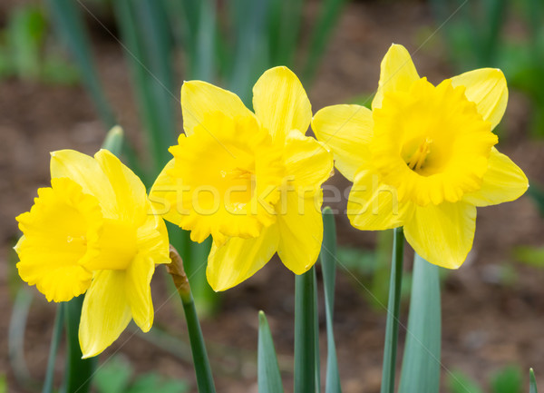 Daffodil flower blossoms Stock photo © manfredxy