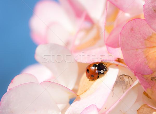 Katicabogár kúszás rózsaszín virág virágok kék növény Stock fotó © manfredxy