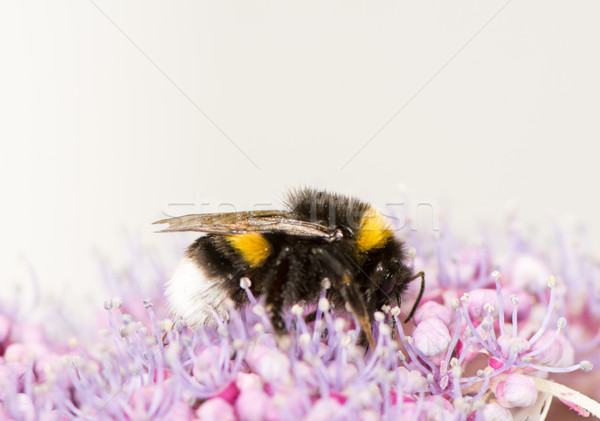 Bumblebee on a hydrangea flower Stock photo © manfredxy