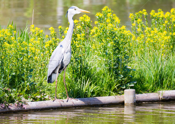 Grey heron bird standing at the water Stock photo © manfredxy