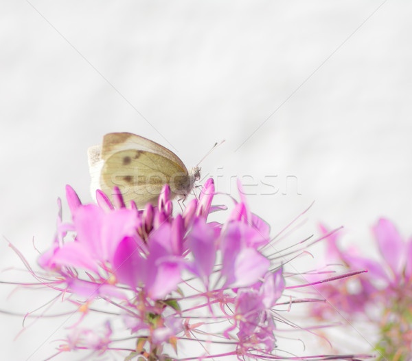 White cabbage butterfyl on a flower blossom Stock photo © manfredxy