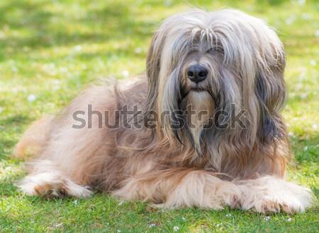 Tibetan Terrier Stock photo © manfredxy