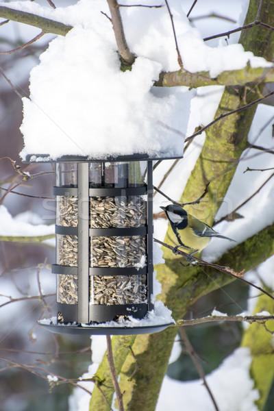 синий Тит птица зима сидят подсолнечника Сток-фото © manfredxy