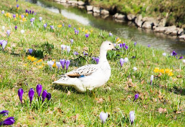 White Duck between Crocus flowers Stock photo © manfredxy
