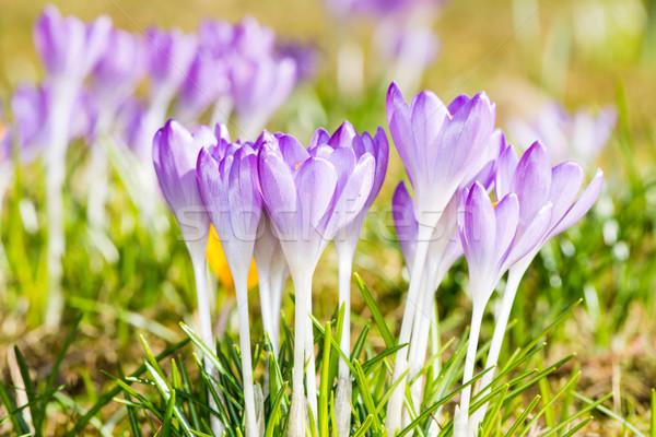 Lila kikerics virágok csoport fű virág Stock fotó © manfredxy