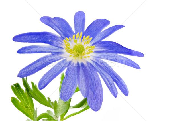 Geïsoleerd Blauw winter macro natuur plant Stockfoto © manfredxy