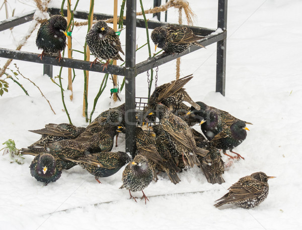 Stock photo: Swarm of starlings at a bird feeder