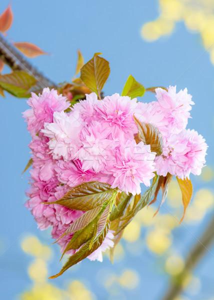 Pembe çiçekli ağaç çiçek yaprakları Stok fotoğraf © manfredxy