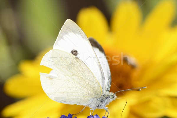 White Cabbage Butterfly Stock photo © manfredxy