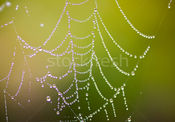 Dewdrops at a Cobweb Stock photo © manfredxy