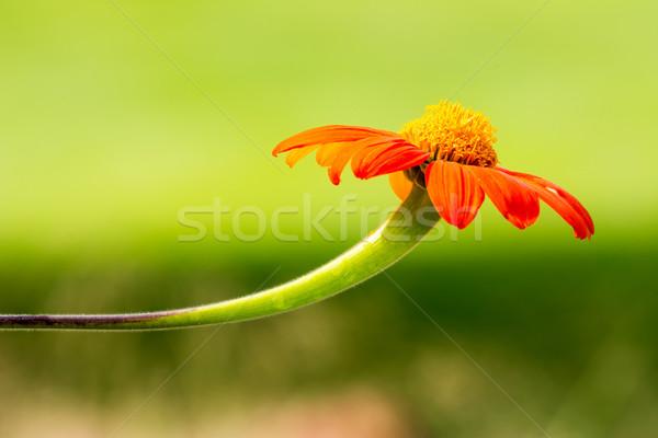 Narancs százszorszép virág virág Stock fotó © manfredxy