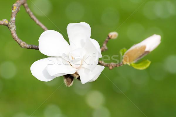 белый цветения магнолия дерево весны Сток-фото © manfredxy
