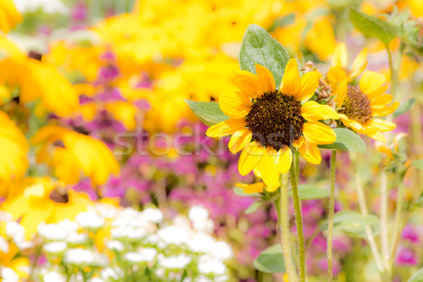 Yellow sunnflower in a flower bed Stock photo © manfredxy