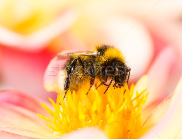 Stock photo: Bumblebee collecting nectar in a dahlia blossom