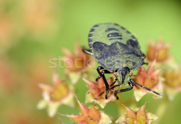 Zöld pajzs rovar virág Stock fotó © manfredxy