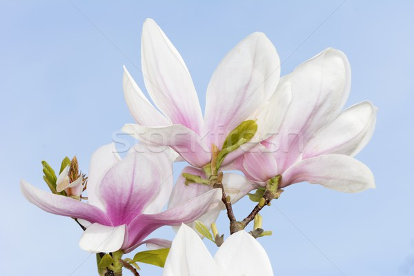 Magnolia świeże kwiaty drzewo wiosną charakter Zdjęcia stock © manfredxy