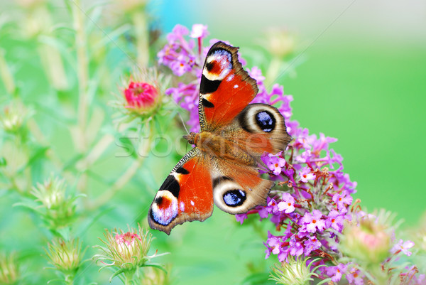 Paon papillon macro yeux animaux insecte Photo stock © manfredxy