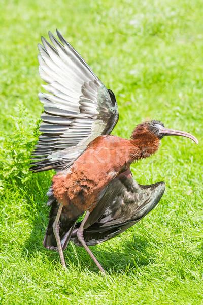 крыльями животного луговой Постоянный стоять Сток-фото © manfredxy