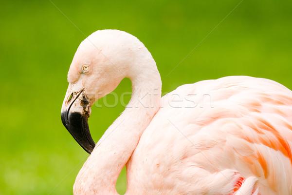 Flamingo portre pembe yeşil Stok fotoğraf © manfredxy
