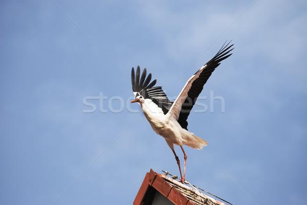 Stork wings Stock photo © manfredxy