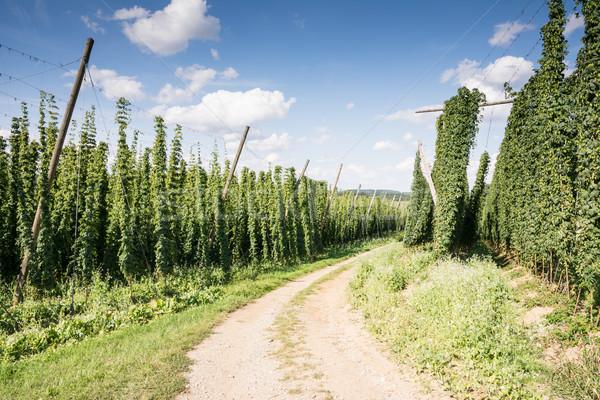 Country Lane along a Hop Garden Stock photo © manfredxy