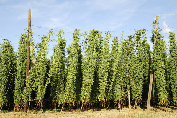 Growing hop Stock photo © manfredxy