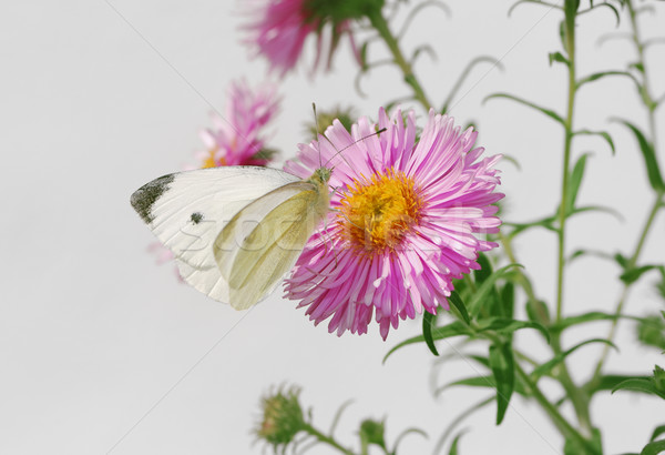White butterfy and pink asters Stock photo © manfredxy