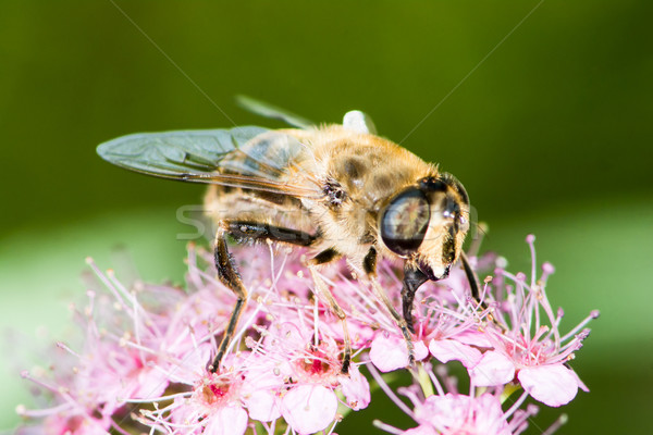 Bee on spiraea japonica flower Stock photo © manfredxy