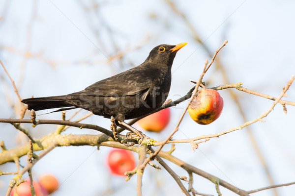 Commonb blackbird in an apple tree Stock photo © manfredxy