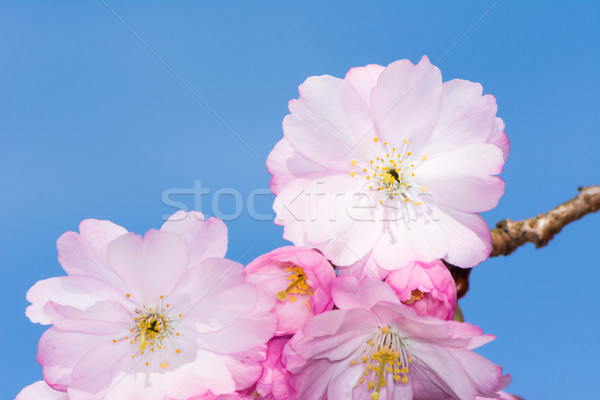 Twig with pink cherry blossoms Stock photo © manfredxy