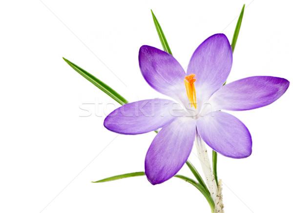 Yalıtılmış mor çiğdem çiçek çiçek makro Stok fotoğraf © manfredxy