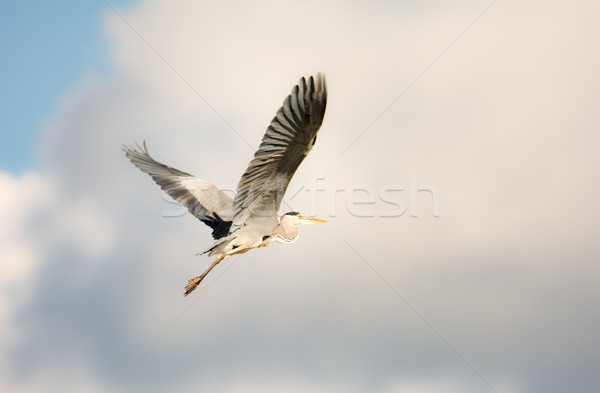 Uçan gri balıkçıl kuş açmak kanatlar Stok fotoğraf © manfredxy