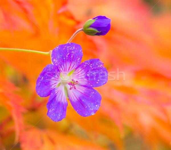 Purple geranium flower blossom Stock photo © manfredxy