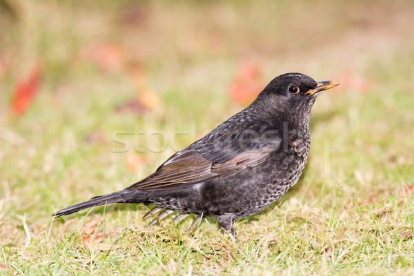 Blackbird séance herbe oiseau Photo stock © manfredxy