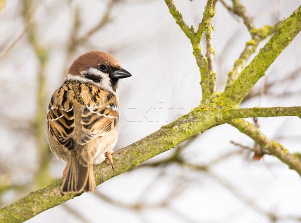 árvore pardal sessão Foto stock © manfredxy