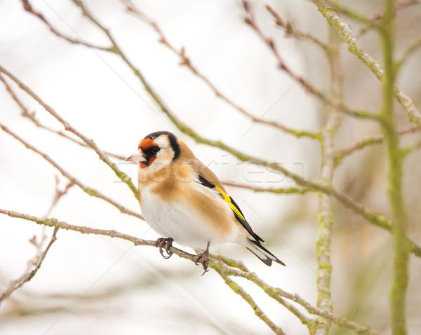 Europeu pássaro sessão árvore natureza Foto stock © manfredxy