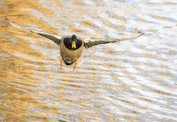 Stock photo: Male wild duck flying over the water