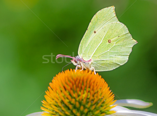 Brimstone butterfly on a echinacea flower blossom Stock photo © manfredxy