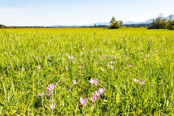 Paisaje azafrán flores pradera completo lago Foto stock © manfredxy