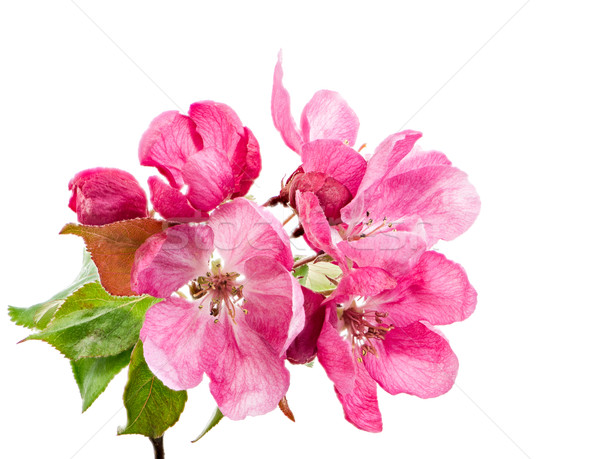 Isolated pink blossoms of an apple tree Stock photo © manfredxy