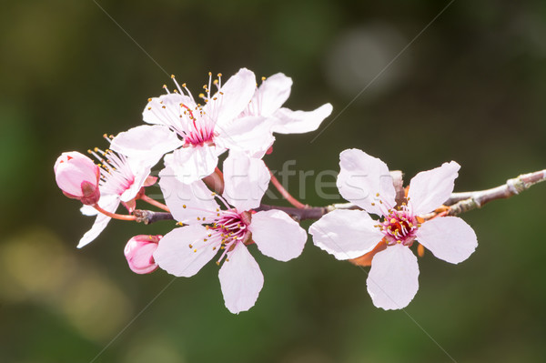 Twig with pink plum blossoms Stock photo © manfredxy