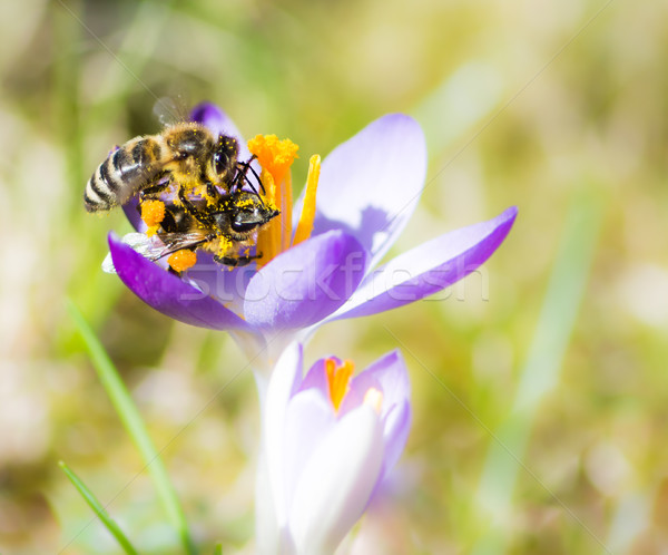 Flying honeybee pollinating a purple crocus flower Stock photo © manfredxy